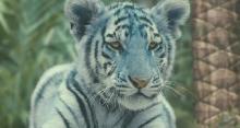 Синий тигр / Modry tygr (2012) HDRip